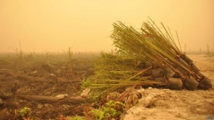 Bibit-Sawit-Bermunculan-di-Bekas-Lokasi-Kebakaran-Hutan