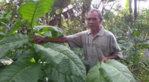 petani-tembakau